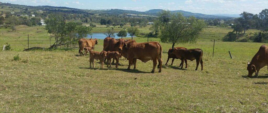 malabar red brahman bulls